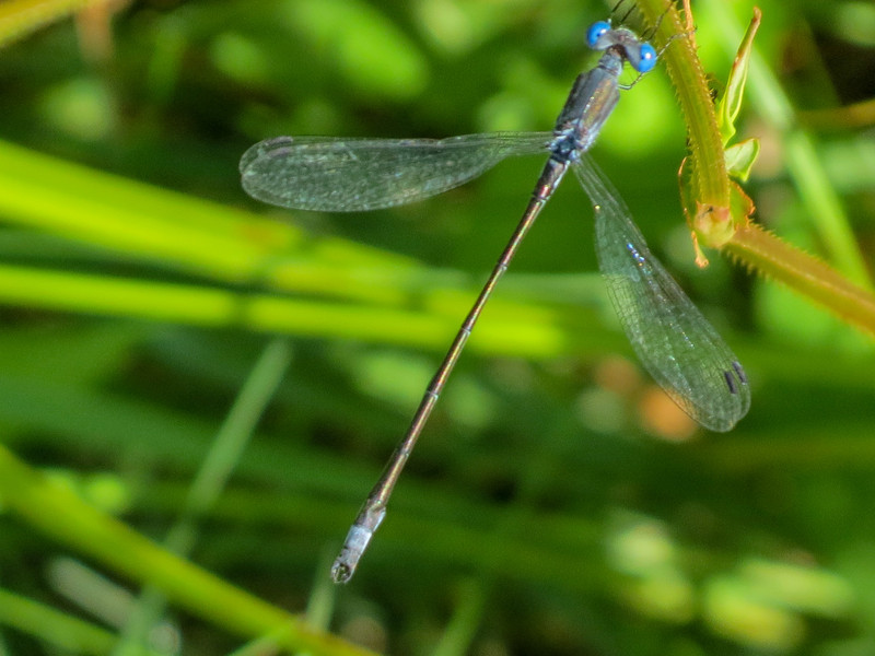 Sweetflag Spreadwing ?, Quest Pond, Kennebunk ME