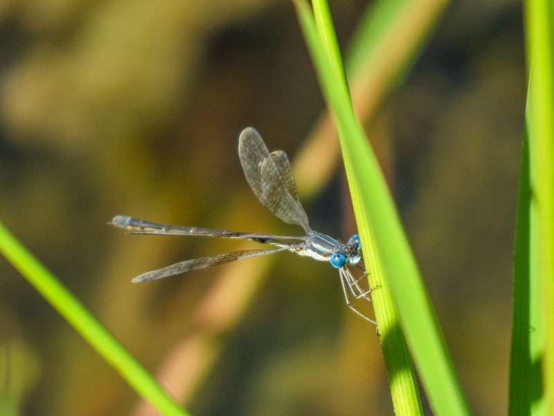 Northern Spreadwing (?), Quest Pond, Kennebunk ME
