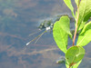 Sweetflag Spreadwing (?), Back Creek Pond #1, Rt. 9, Kennebunk ME