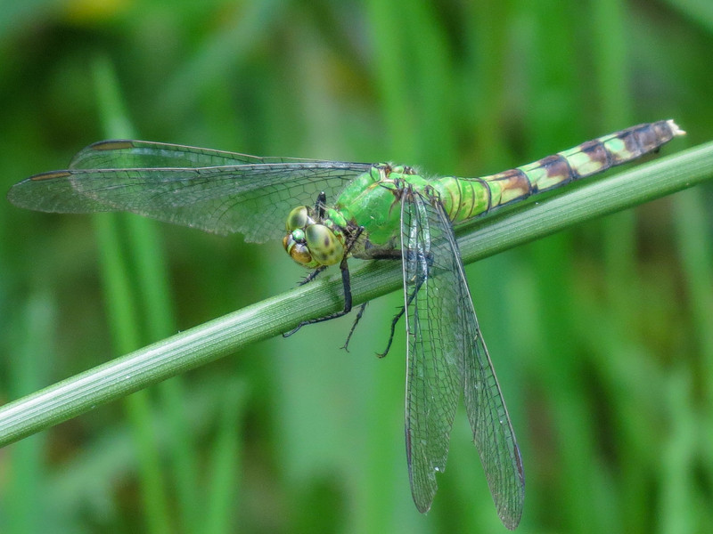 Fm Eastern Pondhawk, Quest Pond, Kennebunk ME