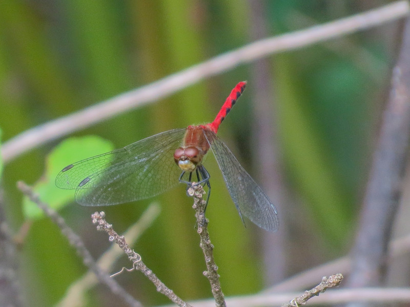 Whitefaced Meadowhawk, Quest Pond, Kennebunk ME