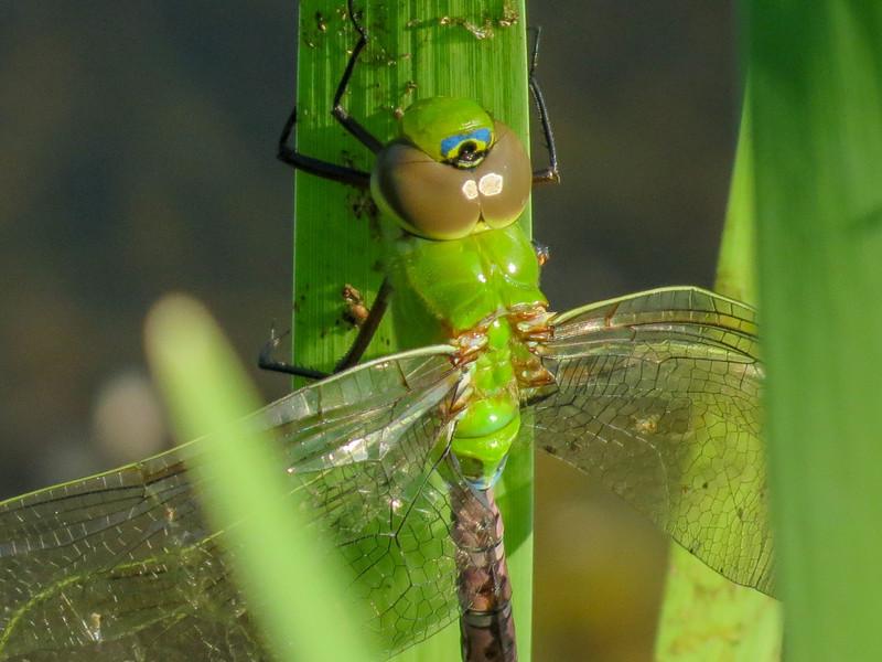 Green Darner (newly emerged), Quest Pond, Kennebunk ME