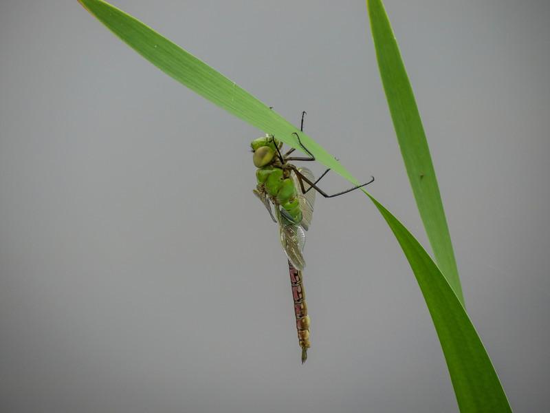 emergent Green Darner, Quest Pond, Kennebunk ME
