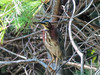 Green Heron, Quest Pond, Kennebunk ME