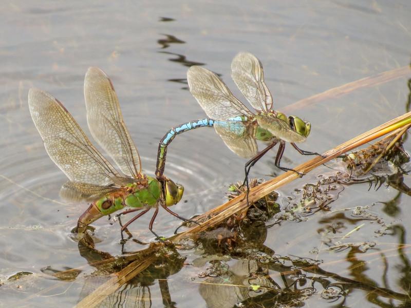 Common Green Darner, Quest Pond, Kennebunk ME