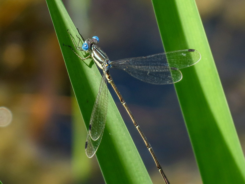 Slender Spreadwing, Quest Pond, Kennebunk ME
