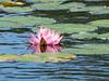 Lily, Roger's Pond, Kennebunk ME