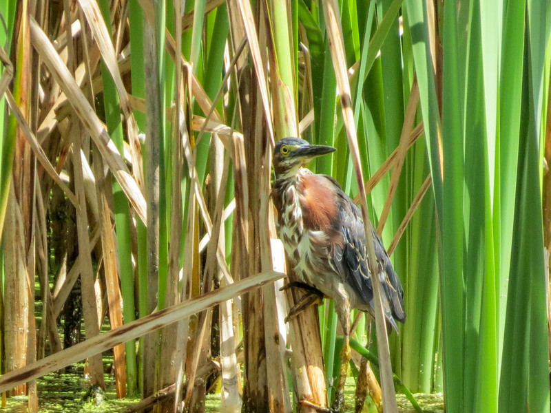 Green Heron, Medical Center Pond, Kennebunk ME