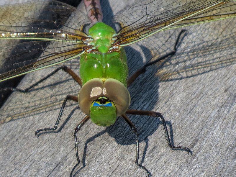 Newly emerged Fm Green Darner, Quest Pond, Kennebunk ME