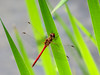 Ruby Meadowhawk (?), Quest Pond, Kennebunk ME