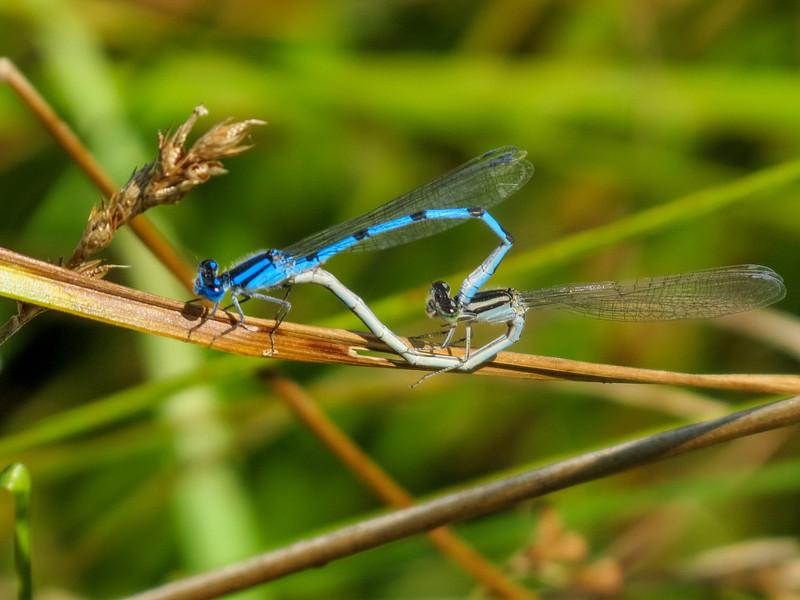 Familiar Bluet (?), Quest Pond, Kennebunk ME