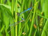 Familar Bluet, Quest Pond, Kennebunk ME