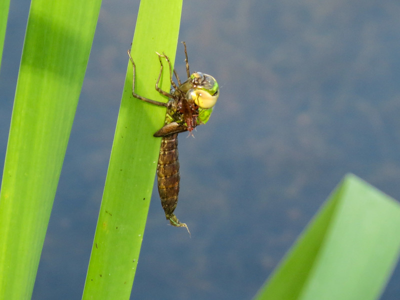 Failed Common Green Darner, Quest Pond, Kennebunk ME