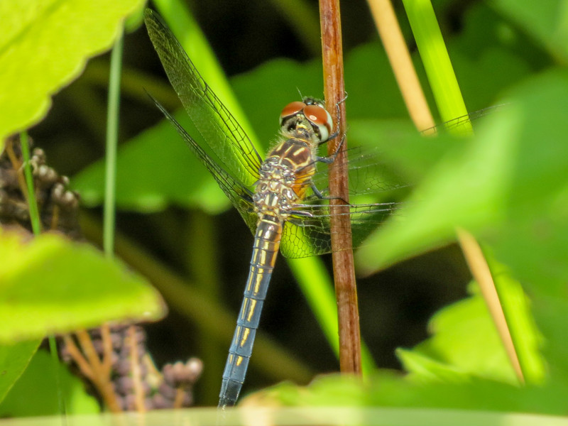 Fm, Blue Dasher, Factory to Pasture Pond, Kennebunk ME