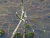Sweetflag Spreadwing (?), Back Creek Pond #1, Rt. 9, Kennebunk ME
