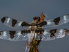 Twelve-spotted Skimmer, Quest Pond, Kennebunk ME
