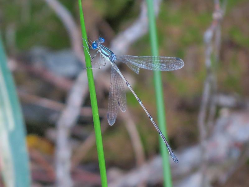 Slender Spreadwing, Quest Pond, Kennebunk ME