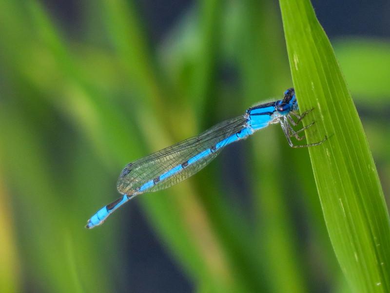 Familiar Bluet, Quest Pond, Kennebunk ME