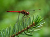 Ruby Meadowhawk, Quest Pond, Kennebunk ME
