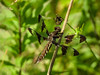 Fm, Common whitetail, Kennebunk Plains Pond, Kennebunk ME