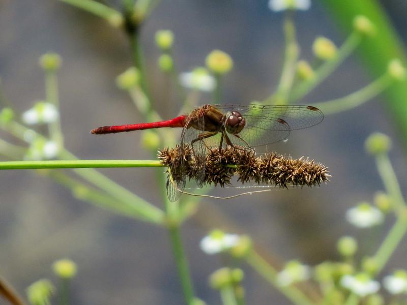 Ruby Meadowhawk, Quest Pond, Kennebunk ME