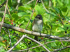 Eastern Phoebe, Quest Pond, Kennebunk ME
