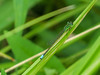 Eastern Forktail (?), Quest Pond, Kennebunk ME