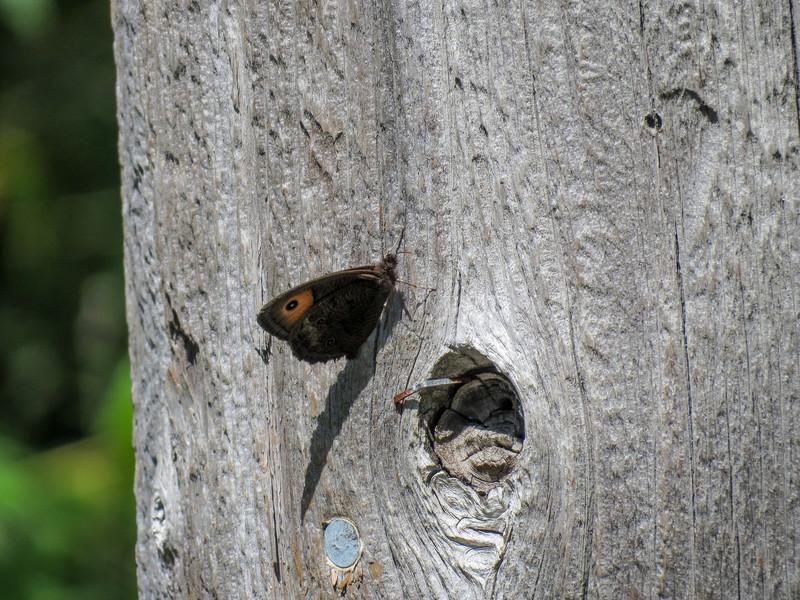 Wood Nymph, Kennebunk Plains Pond, Kennebunk ME