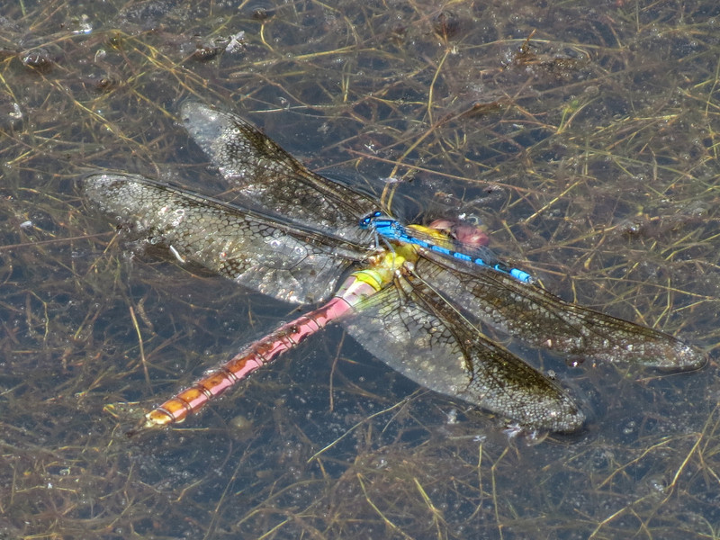 Failed Common Green Darner and Familiar Bluet, Quest Pond, Kennebunk ME