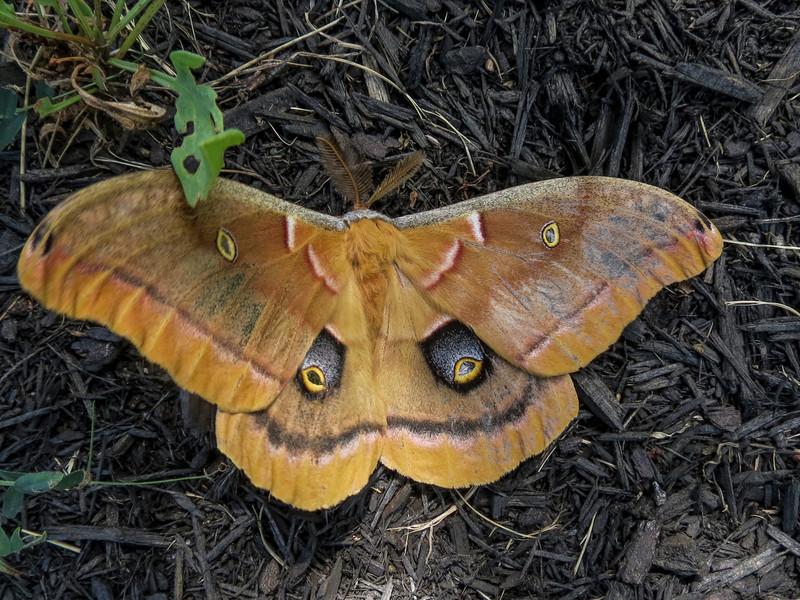 Luna Moth, Hannefords Supermarket, Kennebunk ME