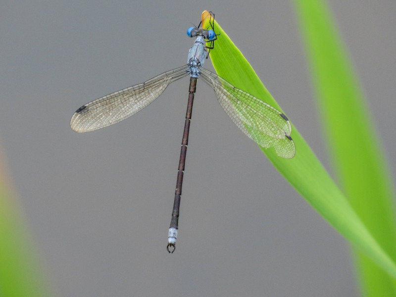 Amberwinged Spreadwing, Quest Pond, Kennebunk ME
