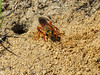 Great Golden Digger Wasp, Kennebunk Plains, Kennebunk ME