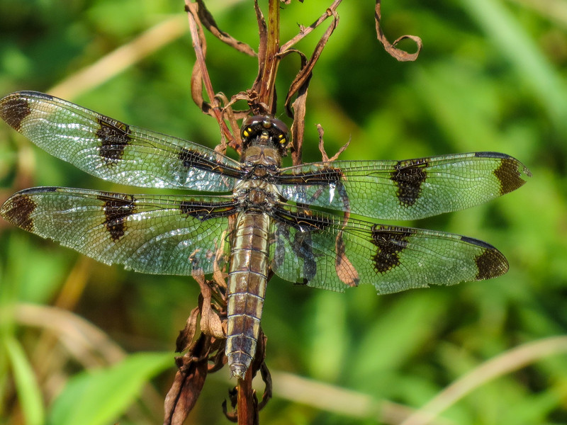 Fm Twelve-spotted Skimmer, Quest Pond, Kennebunk ME