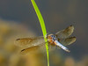 tiny Blue Dasher, Quest Pond, Kennebunk ME