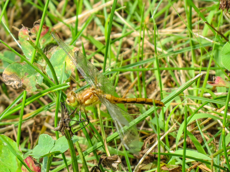 Emergent White-faced Meadowhawk, Factory to Pasture Pond, Kennebunk ME