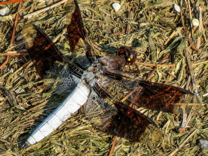 Common Whitetail, Quest Pond, Kennebunk ME
