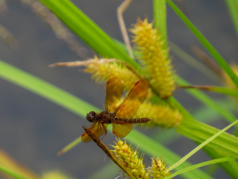 Eastern Amberwings, Quest Pond, Kennebunk ME