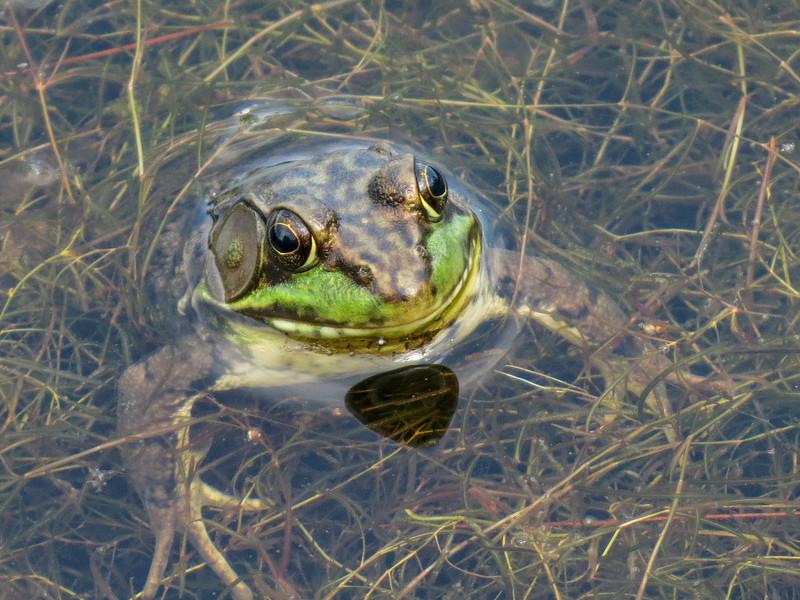 Frog, Quest Pond, Kennebunk ME