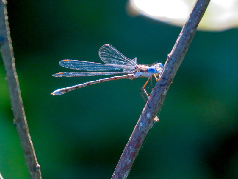 Spotted Spreadwing (?), Quest Pond, Kennebunk ME