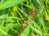 Autumn Meadowhawk, Quest Pond, Kennebunk ME