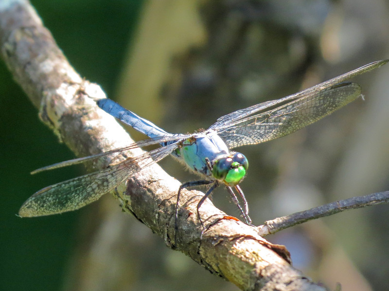 Eastern Pondhawk, Quest Pond, Kennebunk ME