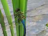 Green Darner in Tandem, Quest Pond, Kennebunk ME