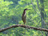 Green Heron, Factory to Pasture Pond, Kennebunk ME