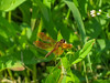 Eastern Amberwings, Quest Pond, Kennebunk ME