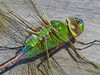 Newly emerged Fm Green Darner, Quest Pond, Kennebunk ME