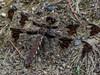 fm Common Whitetail, Quest Pond, Kennebunk ME