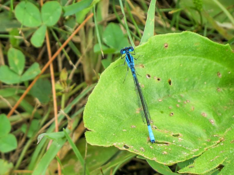 Azure Bluet ?, Quest Pond, Kennebunk ME