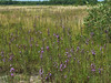 Northern Blazing Star, Kennebunk Plains, Kennebunk ME