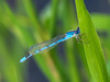 Familiar Bluet, Quest Pond, Kennebunk ME