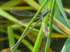 Swamp Spreadwing, Roger's Pond, Kennebunk ME